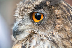 Portrait owl Royalty Free Stock Images