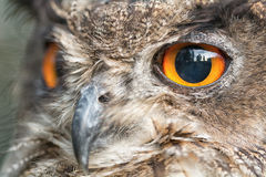 Portrait owl Royalty Free Stock Photography