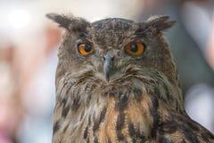 Portrait owl Stock Images
