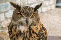 Portrait of owl nocturnal bird with big eyes. Portrait of beautiful owl nocturnal bird with big eyes Stock Photography