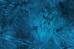Portrait of owl with piercing orange eyes on gloomy blue backgro Stock Photos