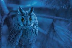 Portrait of owl with piercing orange eyes on gloomy blue backgro Royalty Free Stock Image
