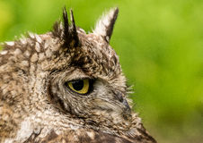 Portrait of an owl Stock Images