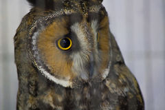 Portrait of owl. With yellow eyes in daylight Stock Images