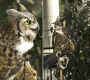 Portrait of owls. Portrait of full body pictures of two owl with glove of trainer stock images