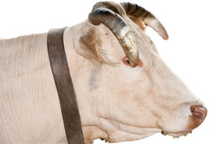 Portrait of an ox Stock Photography