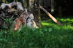 Paar Eurasian Lynxes. Portrait of paar eurasian lynxes on the grass. Photography of wildlife Royalty Free Stock Images