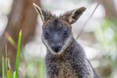 Portrait of Pademelon - native Australian marsupial. Stock Images