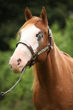 Paint horse mare with show halter. Portrait of Paint horse mare with show halter royalty free stock photography