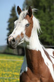 Portrait of paint horse mare in spring Royalty Free Stock Images