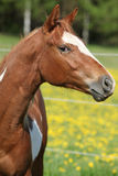 Portrait of paint horse mare in spring Royalty Free Stock Photography