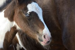 Portrait of paint horse`s head of a young filly Stock Photography