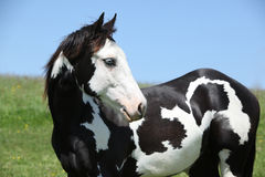 Paint horse stallion Stock Image