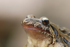 Portrait of a painted frog Royalty Free Stock Photography