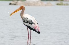 Portrait of Painted Stork In the Lake Stock Photos