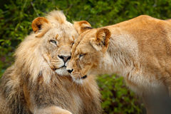 Portrait of pair of African lions, Panthera leo, detail of big animal, evening sun, Chobe National Park, Botswana, Africa. Cat in. Portrait of pair of African Stock Photos