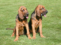 The portrait of pair of Bloodhound dogs Stock Images