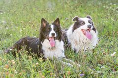 Portrait of pair of the Border Collie outdoors Stock Image