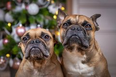 Portrait of pair of brown French Bulldog dogs sitting in front of decorated Christmas tree