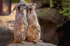 Portrait of meerkats stading in a rock stock image