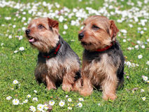 The portrait of pair Norfolk Terrier dogs stock photography