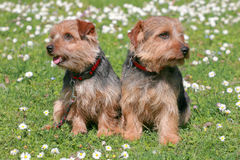 The portrait of pair Norfolk Terrier dogs Stock Photos