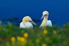 Portrait of pair of Northern Gannet, Sula bassana, with dark green foreground and dark blue sea in background. stock photo