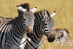 Portrait of a pair of plains zebras Stock Images