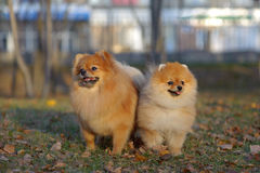 Portrait of pair pomeranian spitz Royalty Free Stock Photo