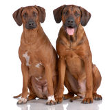 Portrait of pair of Rhodesian Ridgeback Stock Image