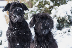 Portrait of a pair of Schnauzer dogs in winter. Winter portrait of a pair of Giant Schnauzer Black Dog with snow on their beard Stock Photo
