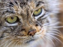 Portrait of Pallas` cat, Otocolobus manul, a beautiful mountain cat. The Portrait of Pallas` cat, Otocolobus manul, a beautiful mountain cat Royalty Free Stock Photography