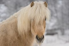 Portrait of a palomino colored Icelandic horse. With long white, yellow mane and white winter background Royalty Free Stock Images