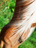 Portrait of  palomino horse. close up Royalty Free Stock Photo