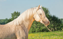 Portrait of palomino welsh cob.  Royalty Free Stock Photography
