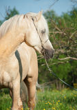 Portrait of palomino welsh cob.  Stock Images