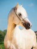 Portrait of palomino welsh cob Stock Photos