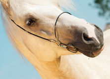 Portrait of palomino welsh cob.  Royalty Free Stock Photo