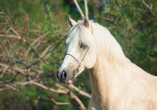 Portrait of palomino welsh pony stallion Stock Photography