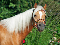 Portrait of palomino welsh pony Stock Photo