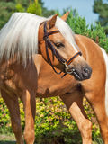Portrait of palomino welsh pony Stock Photos