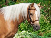 Portrait of palomino welsh pony Stock Images