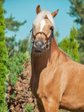 Portrait of palomino welsh pony Royalty Free Stock Images