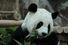 Portrait of panda Royalty Free Stock Image