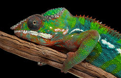 Portrait of a panther chameleon Stock Photography