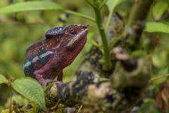 Panther Chameleon - Furcifer pardalis, Madagascar Stock Photo