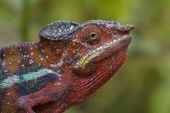 Panther Chameleon - Furcifer pardalis, Madagascar Royalty Free Stock Images