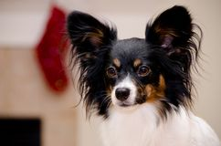 Portrait of a papillon. Portrait of a male papillon in front of a wall with red decorations Stock Photography