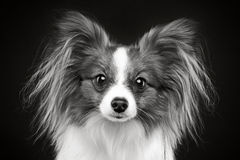 Portrait of a papillon dog Royalty Free Stock Image