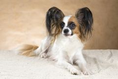 Portrait of a Papillon dog Stock Photo